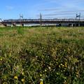たんぽぽと荒川橋梁を渡る京成電車