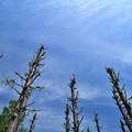 坊主のメタセコイアの木と青空