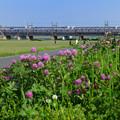 ムラサキツメクサの咲く荒川堤防