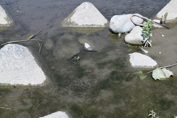 稚魚の群れ
