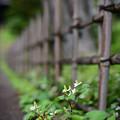 竹垣と十薬