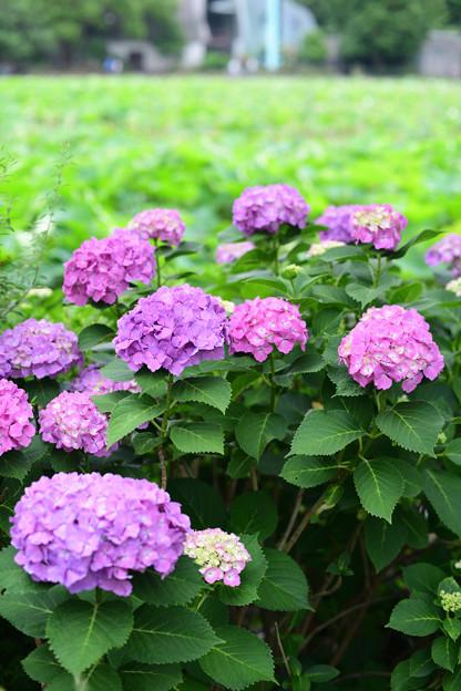 Photos: 不忍池の紫陽花