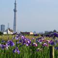 堀切水辺公園の菖蒲とスカイツリー