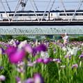 菖蒲の花と京成スカイライナー