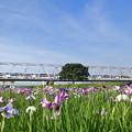 青空の下菖蒲の花を見ながら鉄橋を渡るモーニングライナー