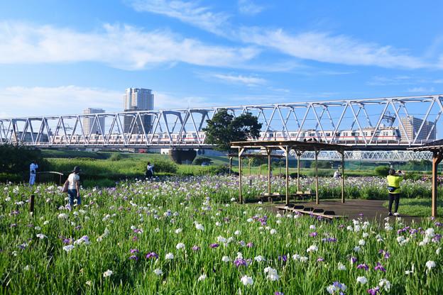 小岩菖蒲園と鉄橋を走る電車