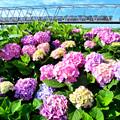 紫陽花と鉄橋のすれ違い