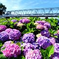 紫陽花と京成スカイライナー