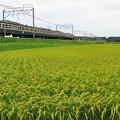Photos: 首を垂れ始めた田んぼと113系電車