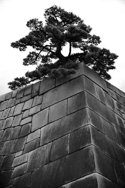 Photos: 石垣と松