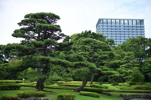 二の丸庭園の松とビル