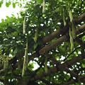 Photos: 豆の木?