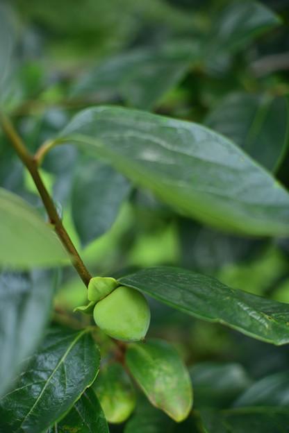Photos: 果樹古品種(柿)