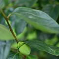 果樹古品種(柿)
