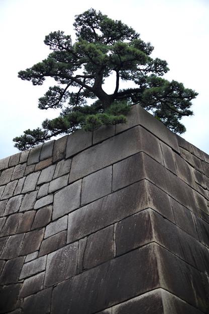 Photos: 天守台と松