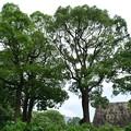 Photos: 天守台と木