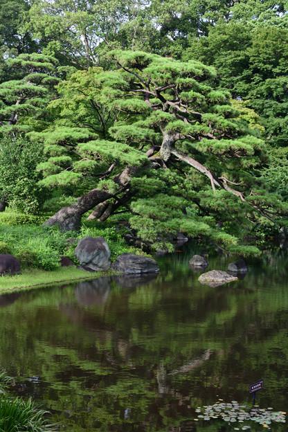 二の丸庭園の松