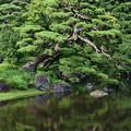 Photos: 二の丸庭園の松