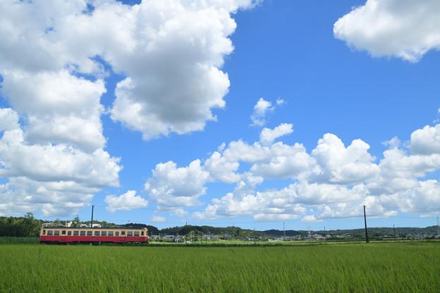 夏雲と収穫前の田んぼを行く