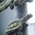 Photos: 鳥居の亀