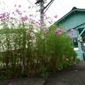 コスモス咲く八木沢駅