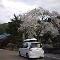ポストと桜