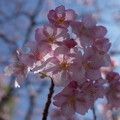 Photos: 河津桜かな!?