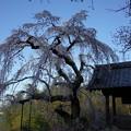 Photos: 地蔵禅院のしだれ桜