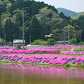 Photos: 芝桜リフレクションと