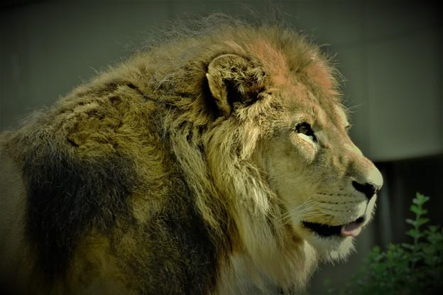 Photos: ライオン