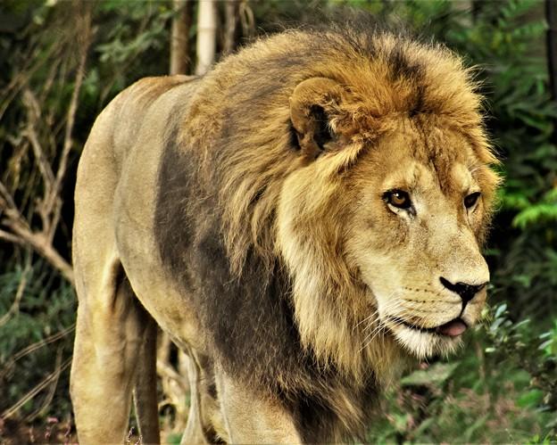 密林の王者