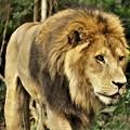 Photos: 密林の王者