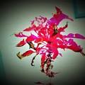 可笑しな花?