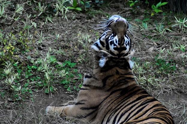天に向かってコロナの収束を願う虎