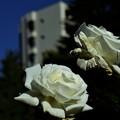 都会のバラ