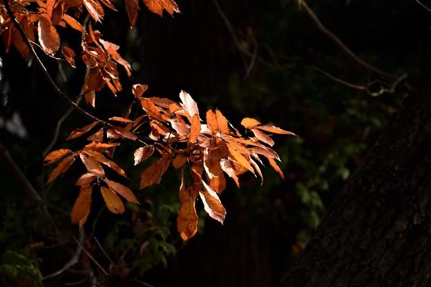 いつまでも元気な紅葉