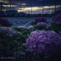 Photos: 紫陽花の夜明け