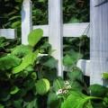 Photos: ヘクソカズラには柵が似合う