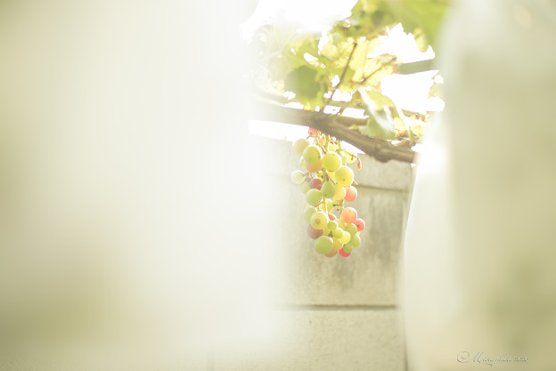 木守り葡萄