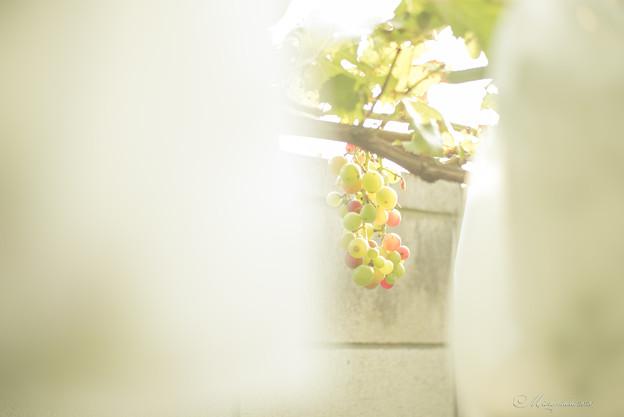 Photos: 木守り葡萄