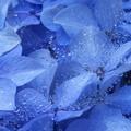 Photos: 季節はずれな紫陽花