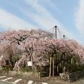Photos: 宝円寺のシダレザクラ