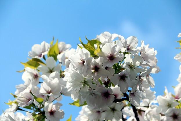 桜「天城吉野」