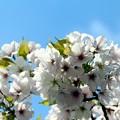 Photos: 桜「天城吉野」