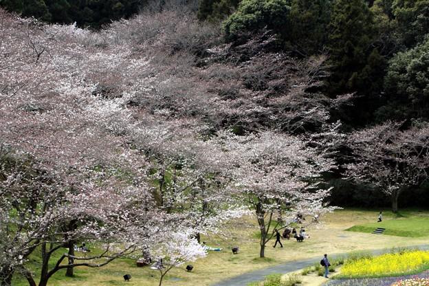花畑とソメイヨシノを覗く