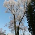 推定130年樹高24m、幹回り4m、5根の1本桜「大龍不動桜」