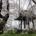 しだれ桜に囲まれた鐘楼