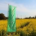 写真: 加治新田の菜の花畑