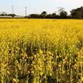 写真: 新田の菜の花畑