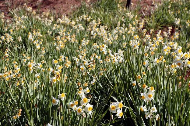 梅園にはニホンズイセンの群落が開花中。